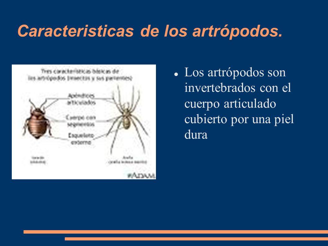 Caracteristicas de los artrópodos. Los artrópodos son invertebrados con el cuerpo articulado cubierto por una piel dura