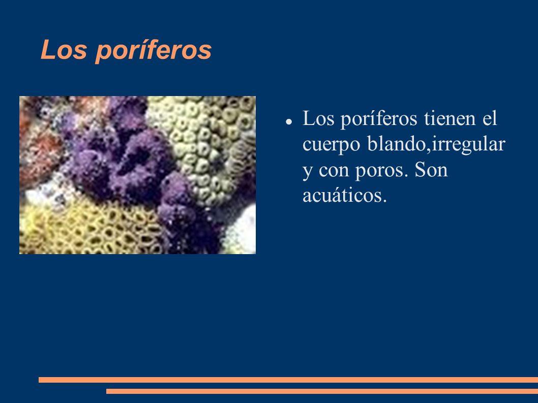 Los poríferos tienen el cuerpo blando,irregular y con poros. Son acuáticos. Los poríferos