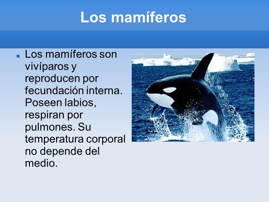 Los mamíferos Los mamíferos son vivíparos y reproducen por fecundación interna. Poseen labios, respiran por pulmones. Su temperatura corporal no depen