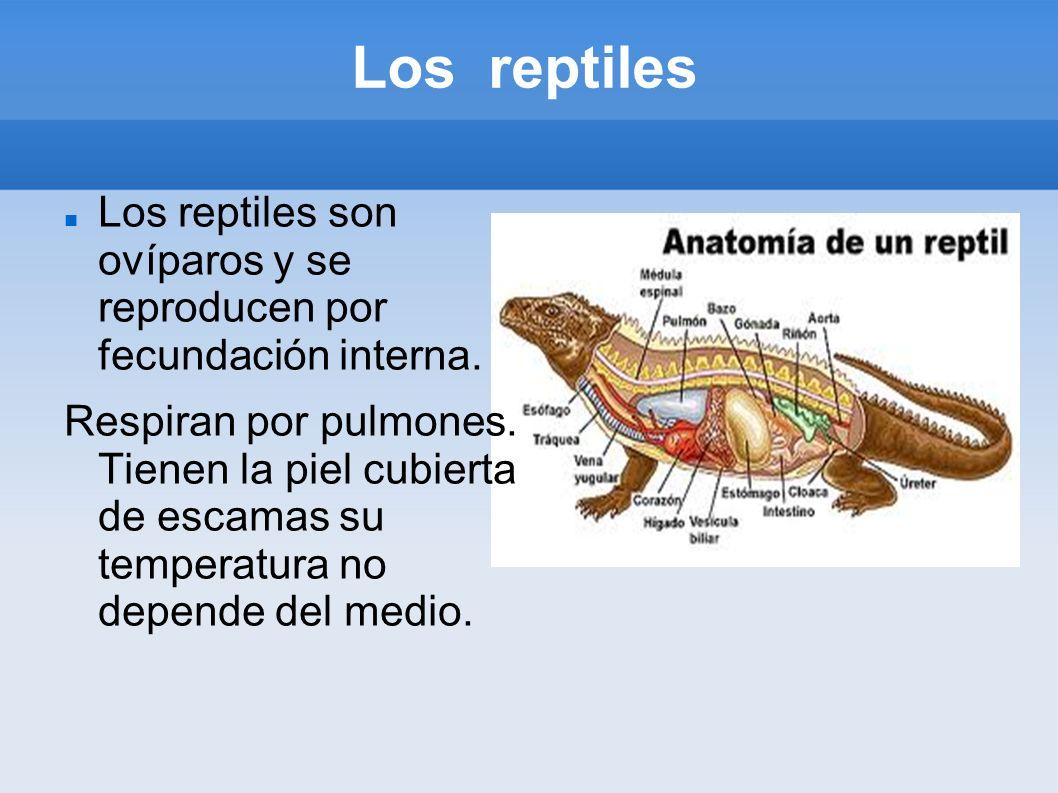 Los reptiles Los reptiles son ovíparos y se reproducen por fecundación interna. Respiran por pulmones. Tienen la piel cubierta de escamas su temperatu