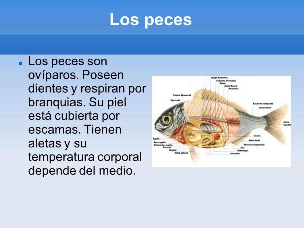 Los peces Los peces son ovíparos. Poseen dientes y respiran por branquias. Su piel está cubierta por escamas. Tienen aletas y su temperatura corporal