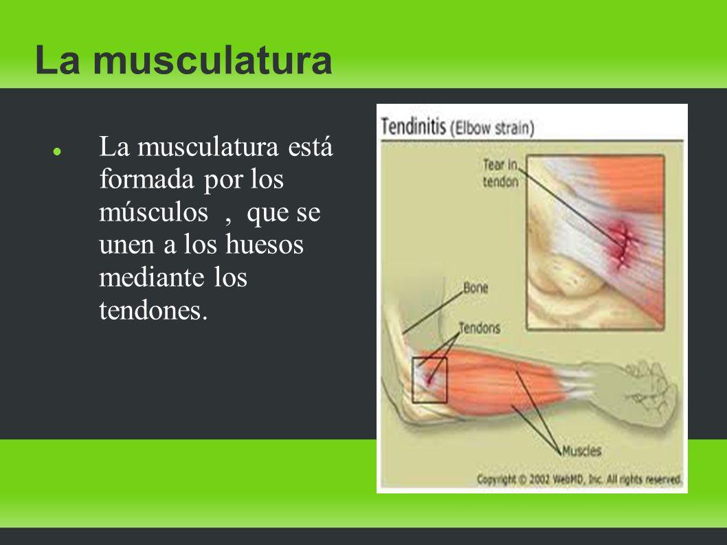 La musculatura La musculatura está formada por los músculos, que se unen a los huesos mediante los tendones.