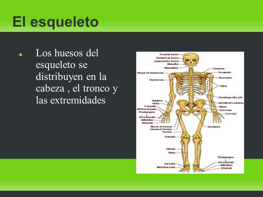 El esqueleto Los huesos del esqueleto se distribuyen en la cabeza, el tronco y las extremidades