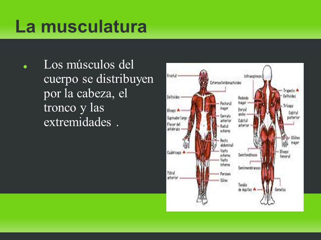 La musculatura Los músculos del cuerpo se distribuyen por la cabeza, el tronco y las extremidades.
