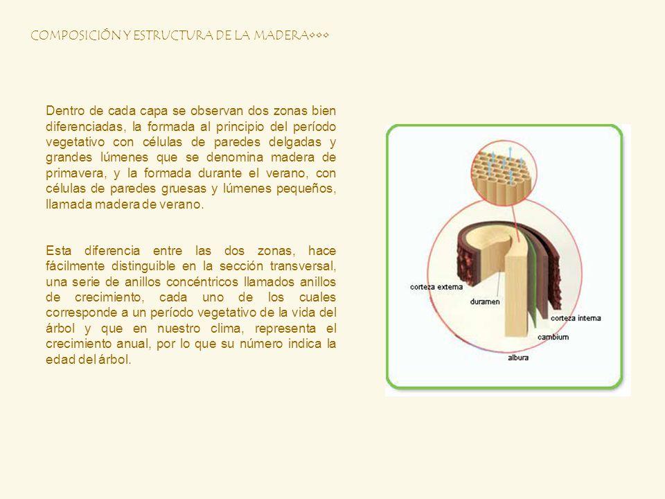 Dentro de cada capa se observan dos zonas bien diferenciadas, la formada al principio del período vegetativo con células de paredes delgadas y grandes