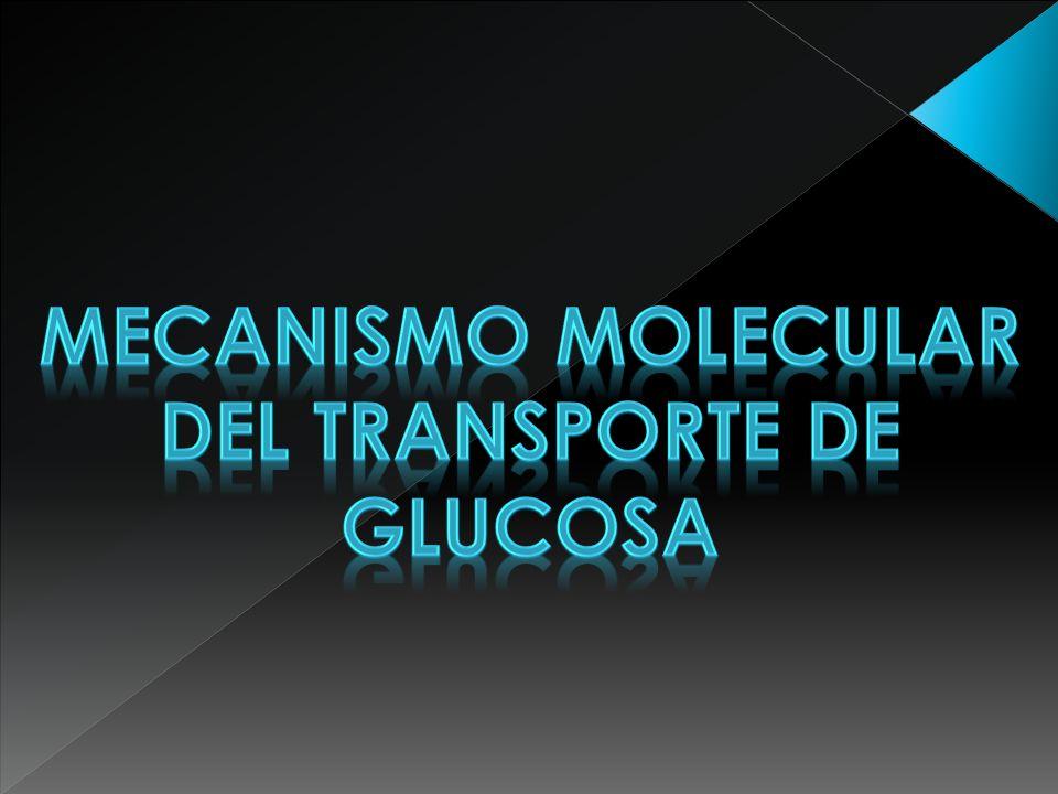 MECANISMOS MOLECULARES QUE INTERVIENEN EN EL TRANSPORTE DE LA GLUCOSA Resumen El transporte de la glucosa a través de la membrana plasmática de las células representa uno de los eventos más importantes de transporte de nutrientes, ya que, este azúcar tiene un papel central en el metabolismo y en la homeostasis celular.