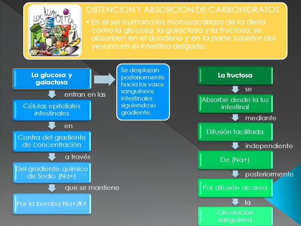 OBTENCION Y ABSORCION DE CARBOHIDRATOS En el ser humano los monosacáridos de la dieta como la glucosa, la galactosa y la fructosa, se absorben en el d