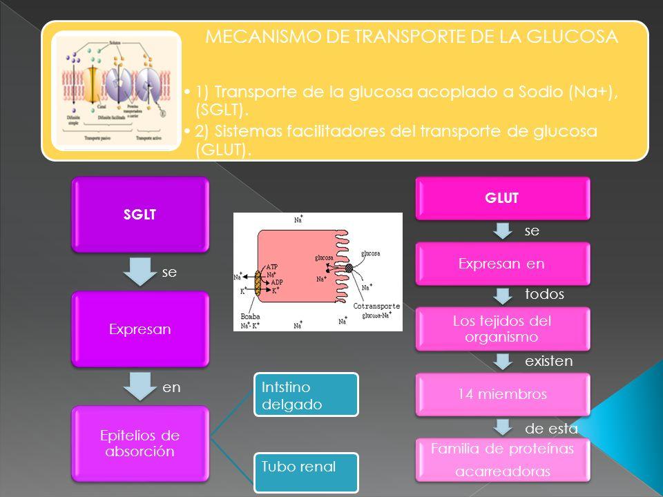 MECANISMO DE TRANSPORTE DE LA GLUCOSA 1) Transporte de la glucosa acoplado a Sodio (Na+), (SGLT). 2) Sistemas facilitadores del transporte de glucosa