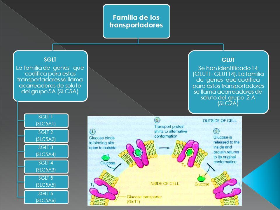 TransportadorTransportaKmLocalización Enfermedades relacionadas SGLT 1 (SLC5A1) 1 glucosa o galactosa x 1 Na+ 0.3 mMIntestino delgado, corazón y riñón Síndrome de mala absorción de glucosa y galactosa SGLT 2 (SLC5A2) 1 glucosa x 1 Na+2 mMTúbulo contorneado proximal Glucosuria renal primaria SGLT 3 (SLC5A4) 1 glucosa x 2 Na+6 mMNeuronas colinérgicas del intestino delgado, uniones neuromusculares No descritas Características funcionales de los SGLT