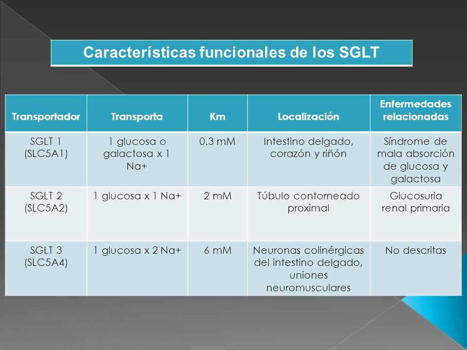 TransportadorTransportaKmLocalización Enfermedades relacionadas GLUT 1 (SLC2A1) glucosa y galactosa 2 mMEritrocito, células endoteliales del cerebro, neuronas, riñón y linfocitos Síndrome de deficiencia del transporte tipo 1 GLUT 2 (SLC2A2) glucosa17 mMCélulas B pancreáticas, hígado, riñón, intestino delgado Síndrome de Fanconi- Bickel GLUT 3 (SLC2A3) glucosa y galactosa 2 mMSNC, placenta, hígado, riñón, corazón, linfocitos Restricción del crecimiento intrauterino fetal GLUT 4 (SLC2A4) Glucosa5 MmTejidos sensibles a la insulina, linfocitos Diabetes tipo II GLUT 5 (SLC2A5) Fructosa10mMIntestino delgado, testículo y riñón Algunas células cancerígenas, HPTG+ e HPINS* Características funcionales de los GLUT