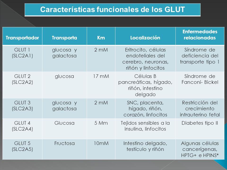 GLUT 6 (SLC2A6) Glucosa 5 mMCerebro, bazo, leucocitos Células tumorales de cáncer de mama GLUT 7 (SLC2A7) glucosa y fructosa 0.3 y 0.06 mMIntestino delgado, cólon, testículo, próstata No descritas GLUT 8 (SLC2A8) glucosa2 mMTestículo y tejidos dependientes de insulina No descritas GLUT 9 (SLC2A9) FructosaNo descritaRiñón, hígado, intestino delgado, placenta, pulmones, leucocitos Participa en preimplantación del embrión GLUT 10 (SLC2A10) Glucosa0.3 mMHígado, páncreasDiábetes tipo II
