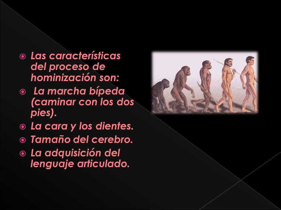 Uno de los primeros grupos de homínidos de importancia en el proceso de hominización son la familia Australopithecus.