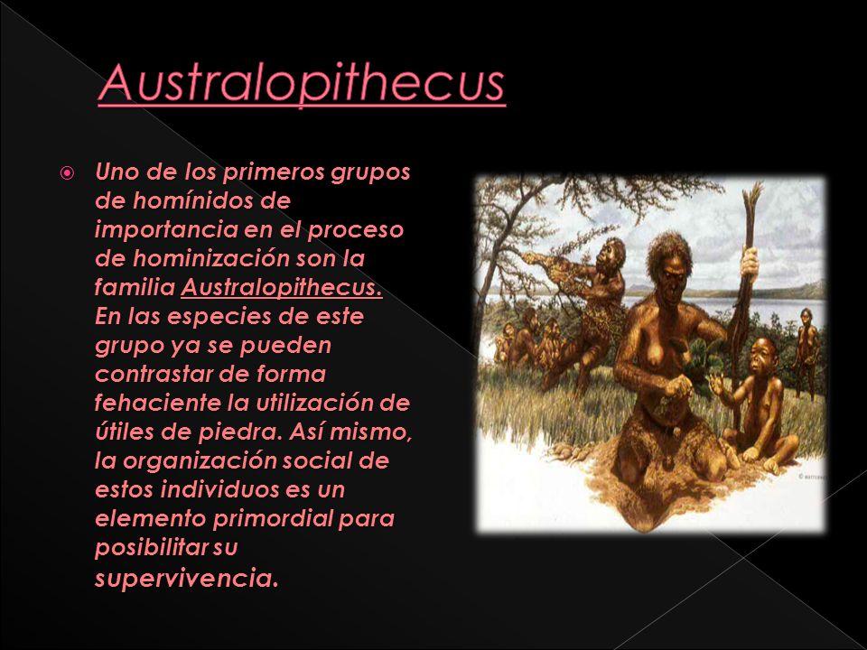 El Homo habilis superaba a los Australopithecus en capacidad craneana y en inteligencia.
