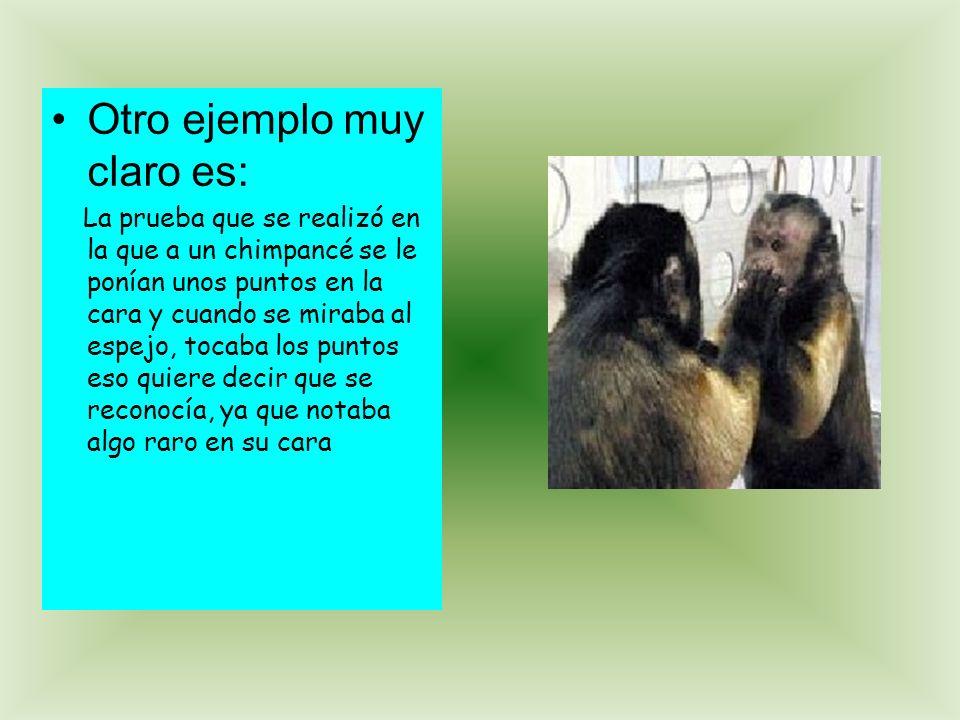 Otro ejemplo muy claro es: La prueba que se realizó en la que a un chimpancé se le ponían unos puntos en la cara y cuando se miraba al espejo, tocaba los puntos eso quiere decir que se reconocía, ya que notaba algo raro en su cara