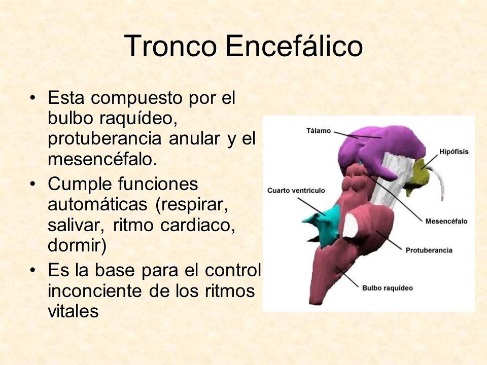 Tronco Encefálico Esta compuesto por el bulbo raquídeo, protuberancia anular y el mesencéfalo.Esta compuesto por el bulbo raquídeo, protuberancia anul