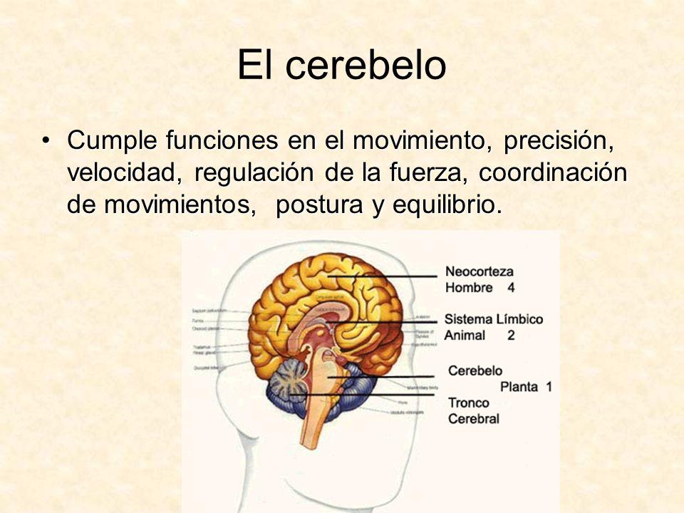El cerebelo Cumple funciones en el movimiento, precisión, velocidad, regulación de la fuerza, coordinación de movimientos, postura y equilibrio.Cumple