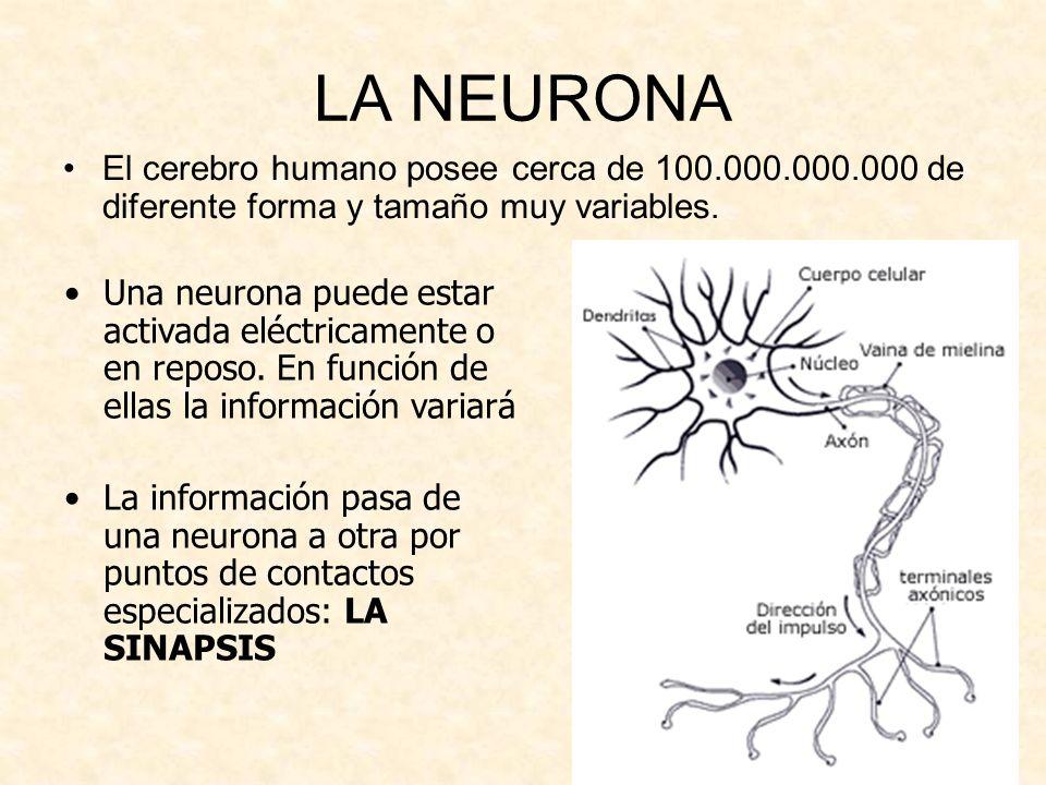 LA NEURONA El cerebro humano posee cerca de 100.000.000.000 de diferente forma y tamaño muy variables. Una neurona puede estar activada eléctricamente
