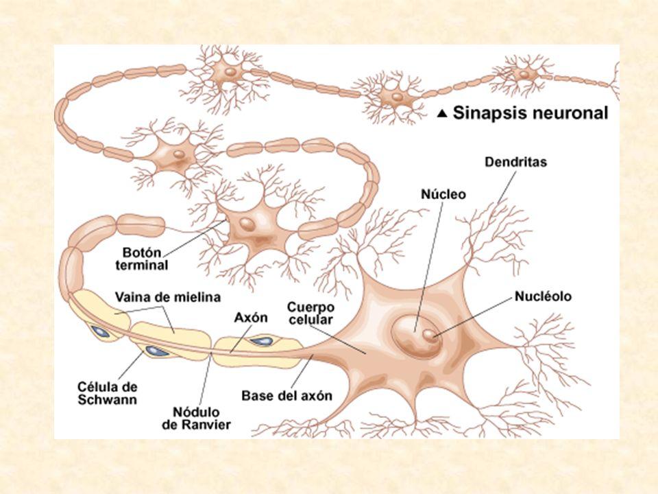 LA SINAPSIS La sinapsis ocurre entre el axón y la dendrita.