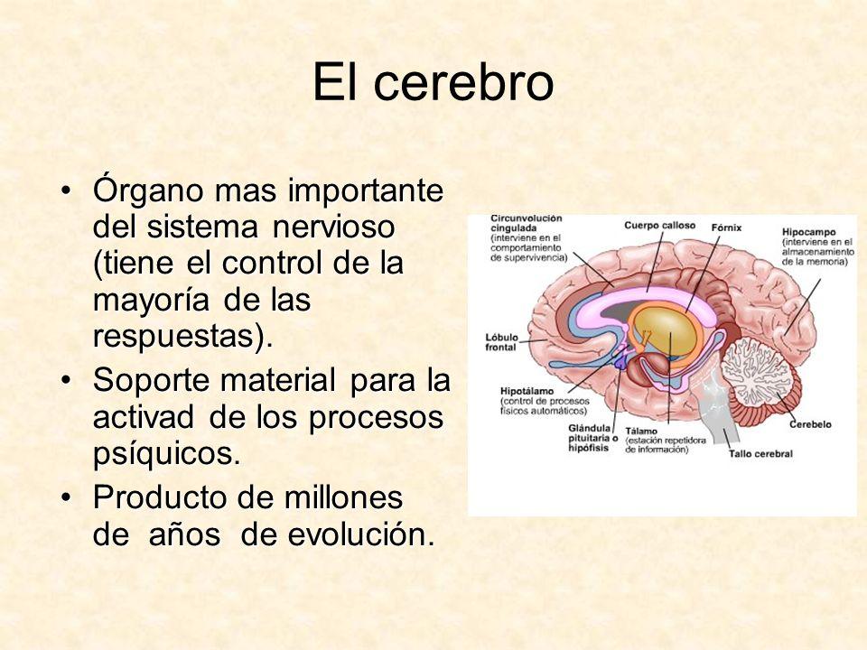 El cerebro Órgano mas importante del sistema nervioso (tiene el control de la mayoría de las respuestas).Órgano mas importante del sistema nervioso (t
