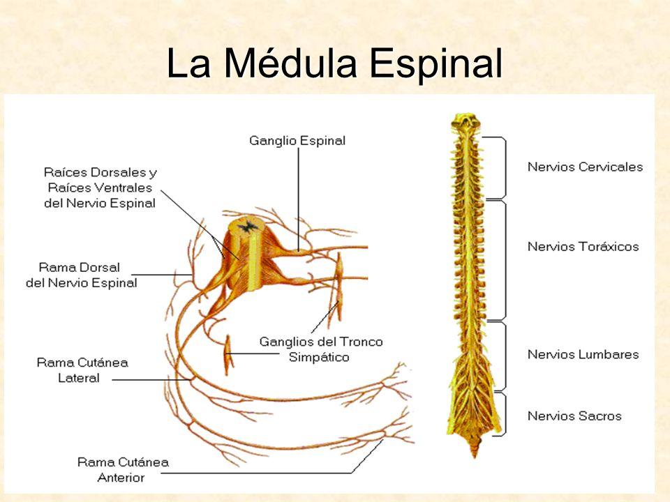 Formada por una sustancia gris,(cuerpos o somas neuronales) y una sustancia blanca (axones de neuronas) llevan el impulso nervioso a niveles superiores.Formada por una sustancia gris,(cuerpos o somas neuronales) y una sustancia blanca (axones de neuronas) llevan el impulso nervioso a niveles superiores.