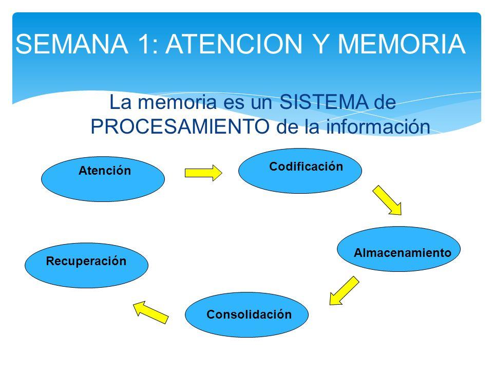 La memoria es un SISTEMA de PROCESAMIENTO de la información SEMANA 1: ATENCION Y MEMORIA Atención Codificación Almacenamiento Consolidación Recuperaci