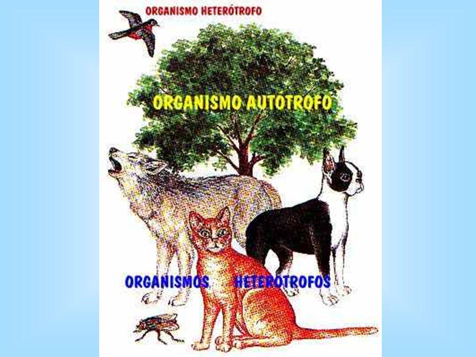 .. NUTRICIÒN HETERÒTROFA. Tipo de cèlula: eucariòtica-animal La célula va consumiendo materia orgánica fabricada por las plantas: glùcidos, lìpidos, p
