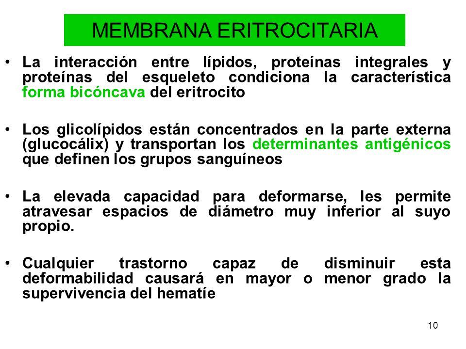 10 MEMBRANA ERITROCITARIA La interacción entre lípidos, proteínas integrales y proteínas del esqueleto condiciona la característica forma bicóncava de