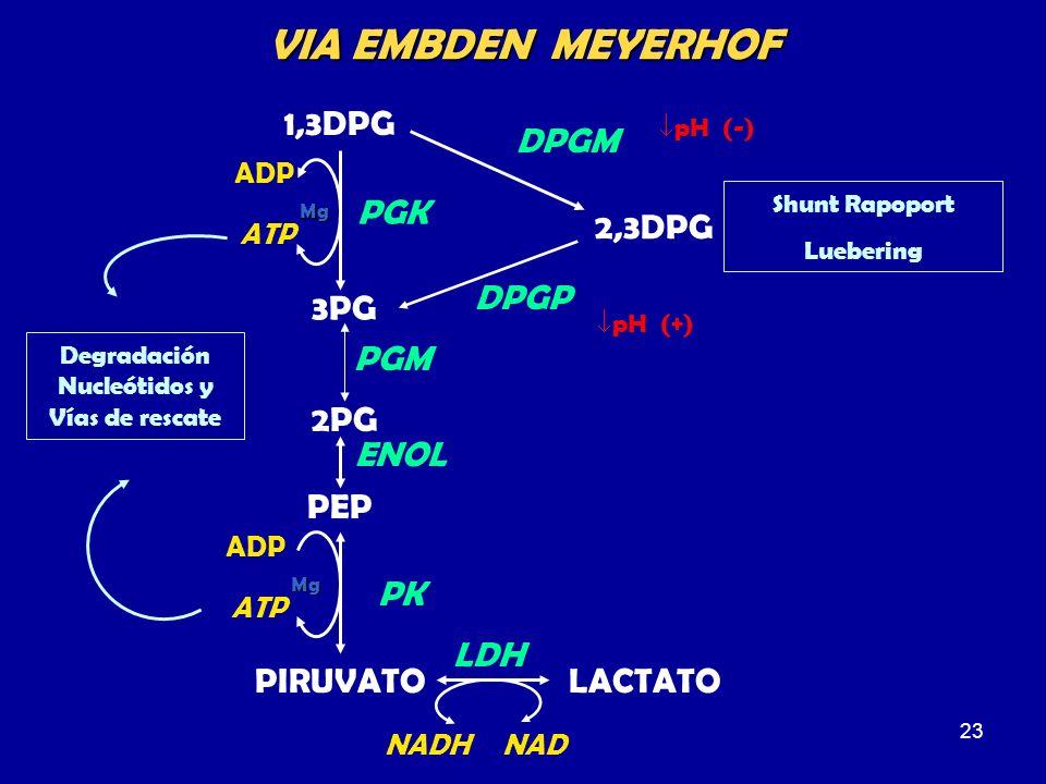 23 1,3DPG PGK ADP ATP Mg 3PG 2PG PGM PEP PIRUVATO ENOL ADP ATP Mg PK LACTATO LDH Degradación Nucleótidos y Vías de rescate 2,3DPG DPGM DPGP Shunt Rapo
