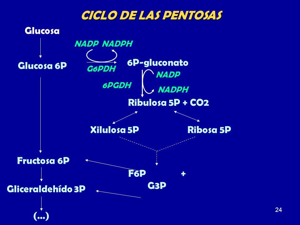 24 Glucosa Glucosa 6P Gliceraldehído 3P 6P-gluconato Ribulosa 5P + CO2 G6PDH 6PGDH NADPHNADP NADPH NADP Fructosa 6P CICLO DE LAS PENTOSAS Xilulosa 5PR
