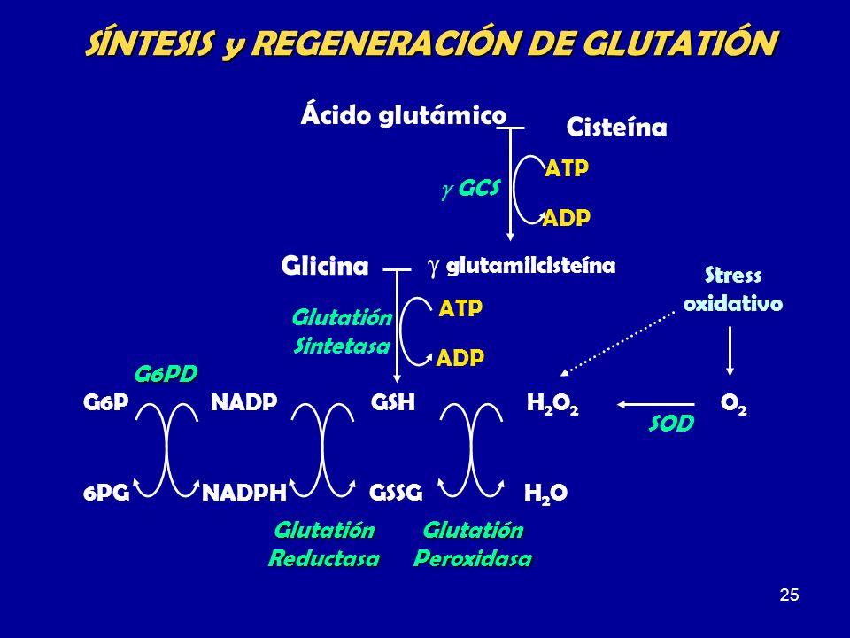 25 SÍNTESIS y REGENERACIÓN DE GLUTATIÓN Ácido glutámico Cisteína ATP ADP GCS glutamilcisteína Glicina ATP ADP Glutatión Sintetasa GSHG6P 6PG NADP NADP