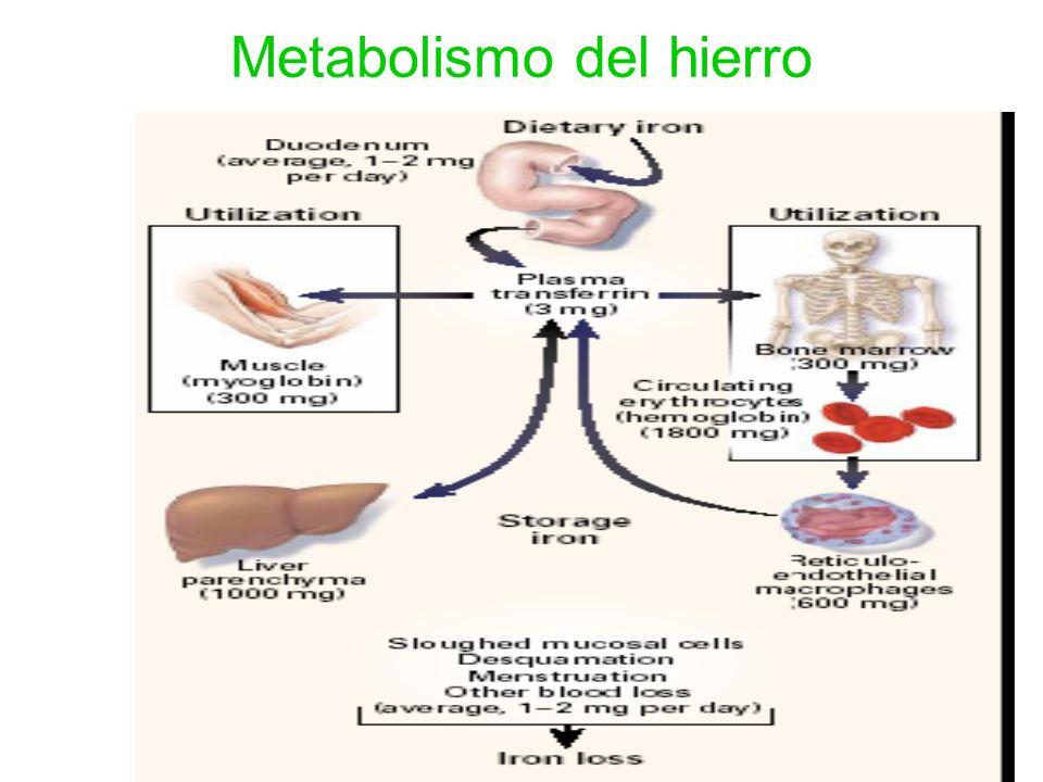 53 Metabolismo del hierro