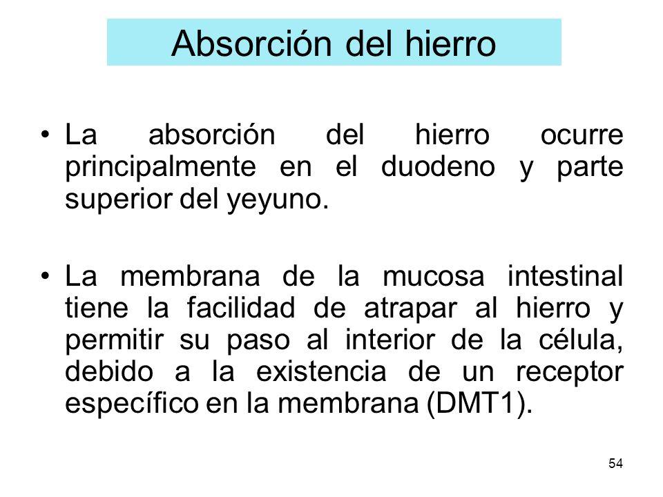 54 Absorción del hierro La absorción del hierro ocurre principalmente en el duodeno y parte superior del yeyuno. La membrana de la mucosa intestinal t
