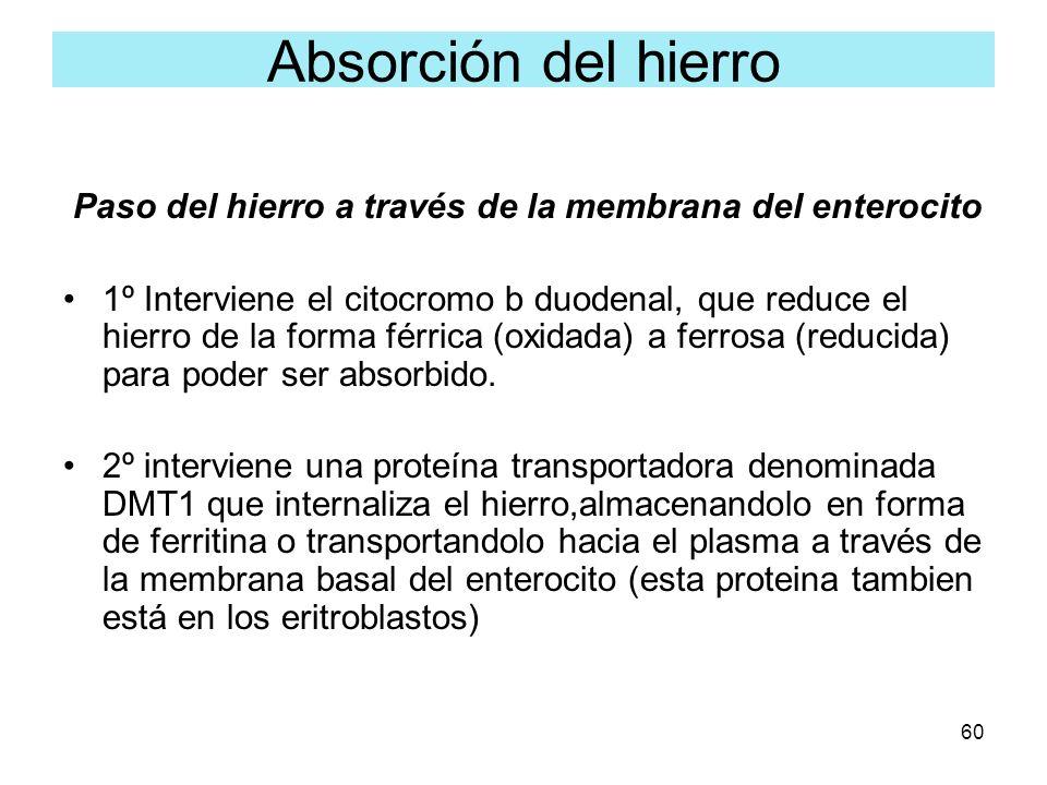 60 Paso del hierro a través de la membrana del enterocito 1º Interviene el citocromo b duodenal, que reduce el hierro de la forma férrica (oxidada) a