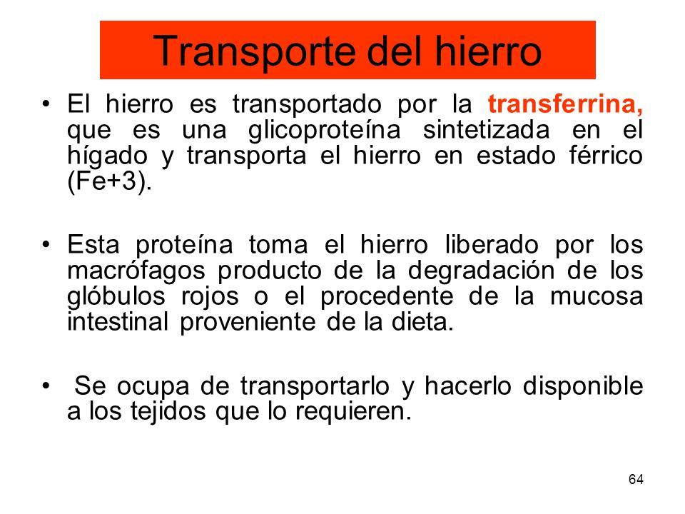 64 Transporte del hierro El hierro es transportado por la transferrina, que es una glicoproteína sintetizada en el hígado y transporta el hierro en es