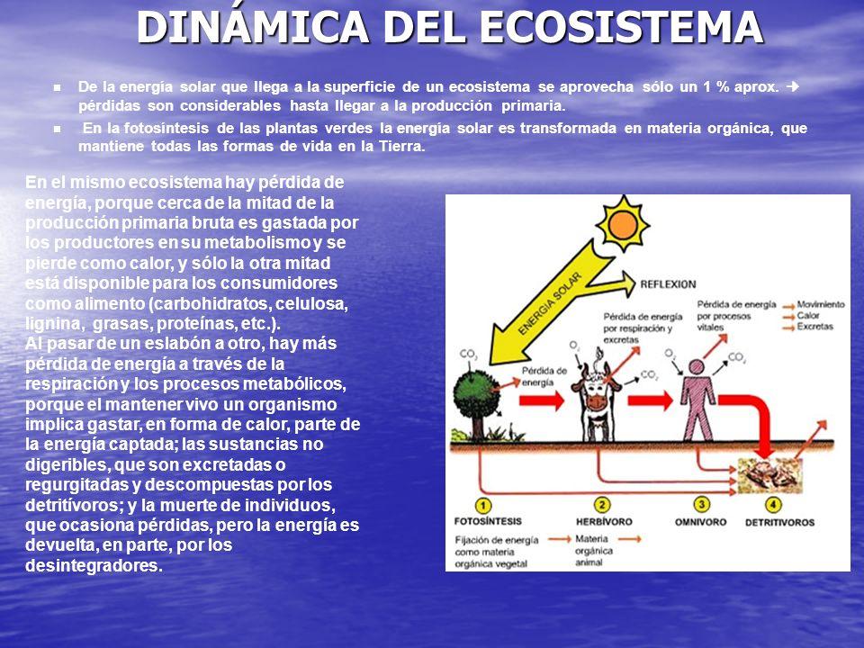 En el mismo ecosistema hay pérdida de energía, porque cerca de la mitad de la producción primaria bruta es gastada por los productores en su metabolis