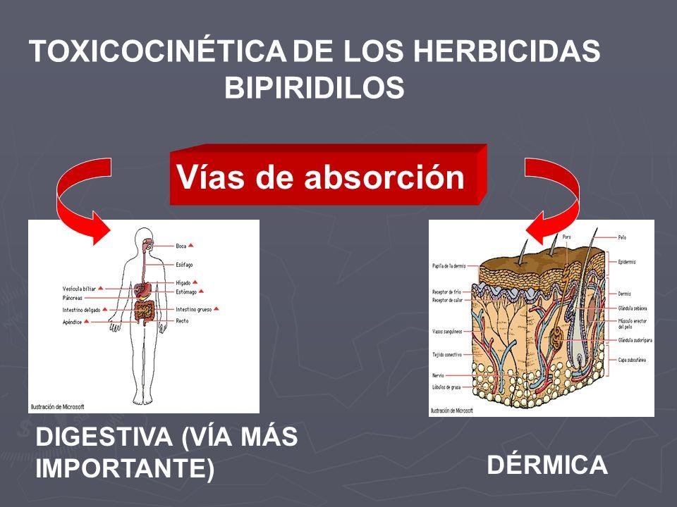 TOXICOCINÉTICA DE LOS HERBICIDAS BIPIRIDILOS DIGESTIVA (VÍA MÁS IMPORTANTE) DÉRMICA Vías de absorción