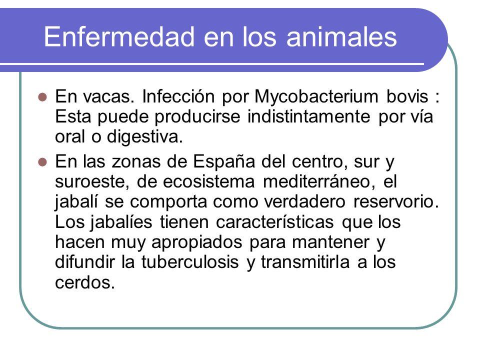 Enfermedad en los animales En vacas. Infección por Mycobacterium bovis : Esta puede producirse indistintamente por vía oral o digestiva. En las zonas
