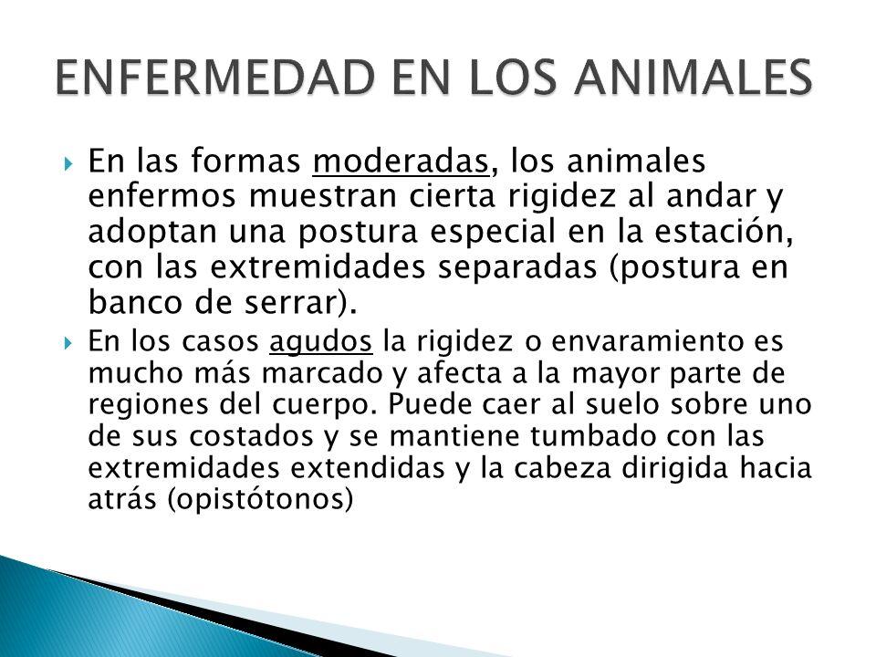 En las formas moderadas, los animales enfermos muestran cierta rigidez al andar y adoptan una postura especial en la estación, con las extremidades se