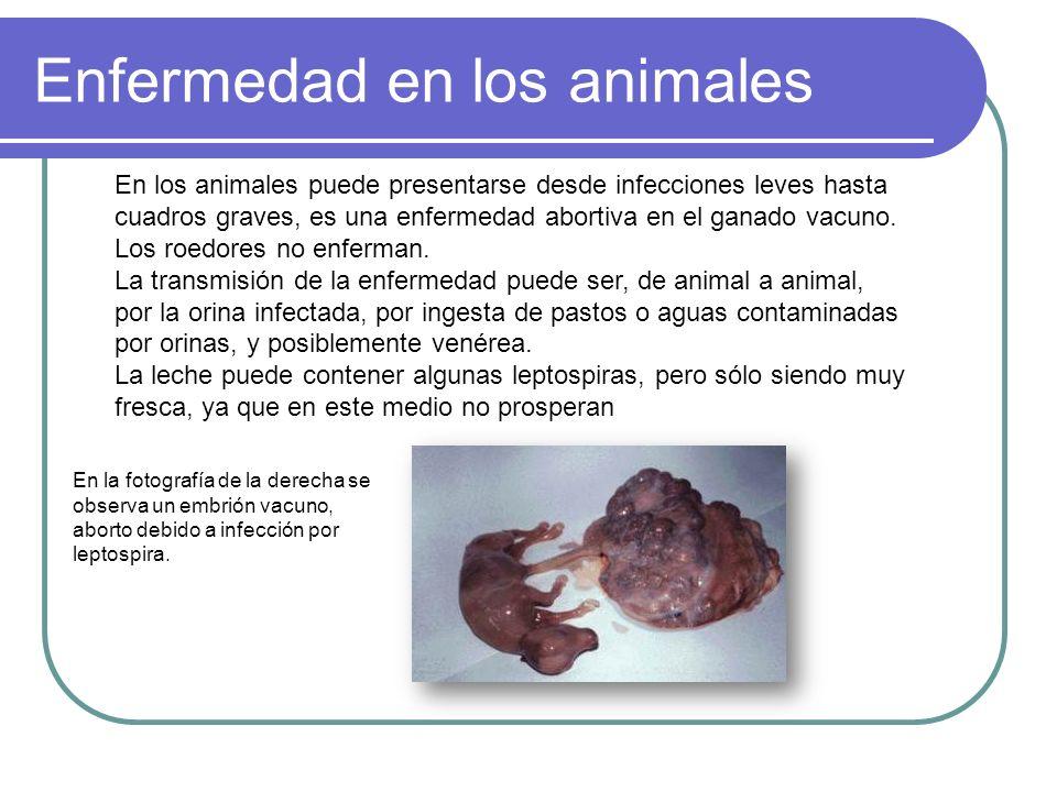 Enfermedad en los animales En la fotografía de la derecha se observa un embrión vacuno, aborto debido a infección por leptospira. En los animales pued