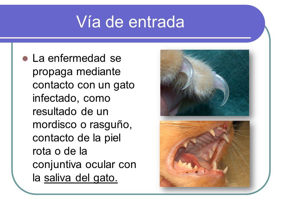Vía de entrada La enfermedad se propaga mediante contacto con un gato infectado, como resultado de un mordisco o rasguño, contacto de la piel rota o d
