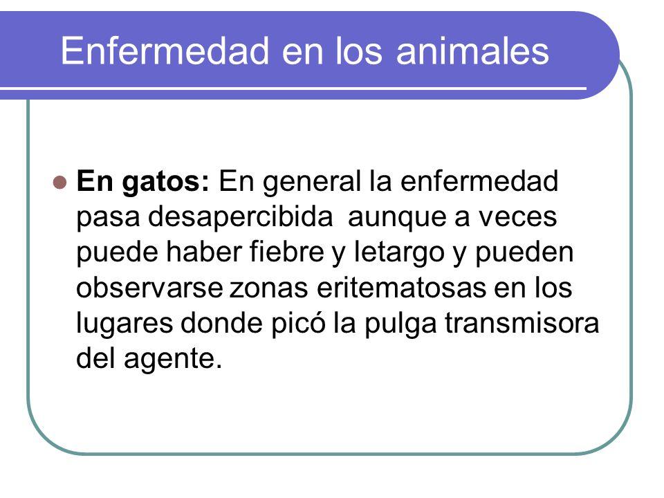 Enfermedad en los animales En gatos: En general la enfermedad pasa desapercibida aunque a veces puede haber fiebre y letargo y pueden observarse zonas