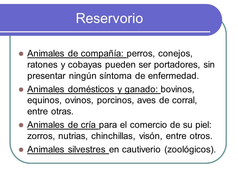 Reservorio Animales de compañía: perros, conejos, ratones y cobayas pueden ser portadores, sin presentar ningún síntoma de enfermedad. Animales domést