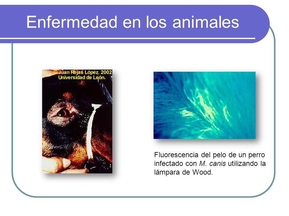 Enfermedad en los animales Fluorescencia del pelo de un perro infectado con M. canis utilizando la lámpara de Wood.