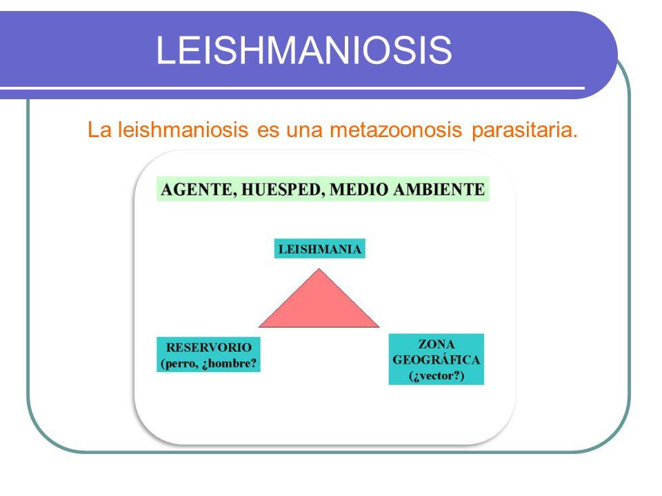La leishmaniosis es una metazoonosis parasitaria.