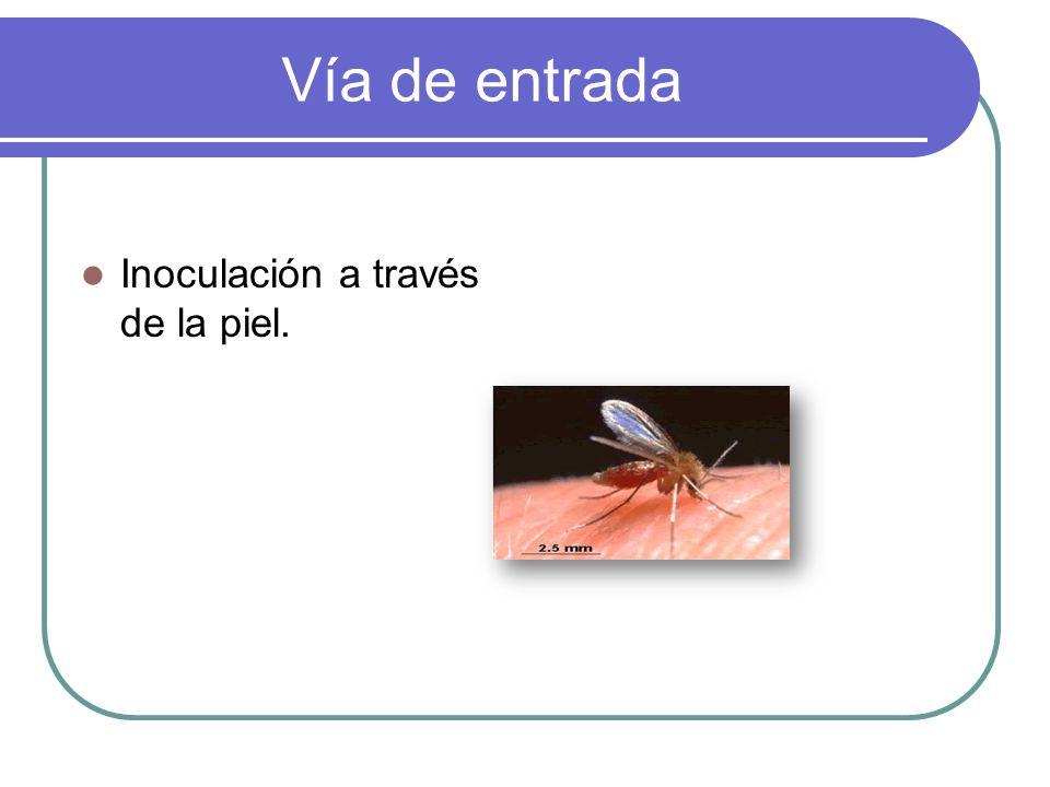 Vía de entrada Inoculación a través de la piel.