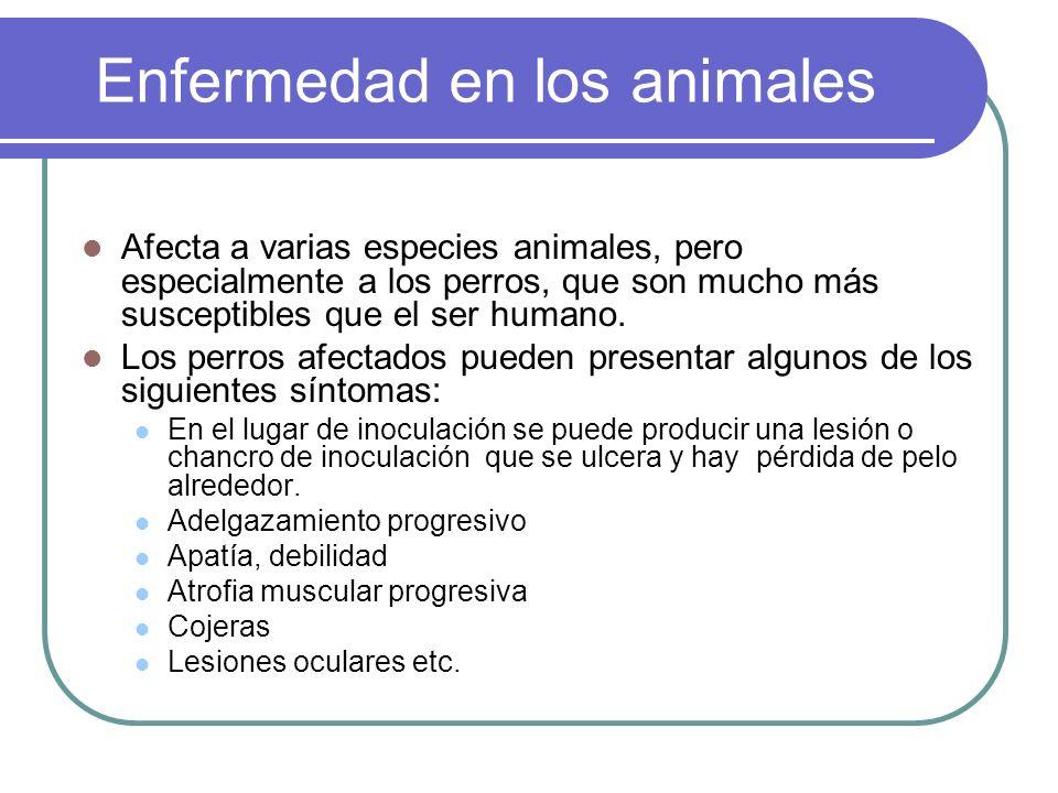 Enfermedad en los animales Afecta a varias especies animales, pero especialmente a los perros, que son mucho más susceptibles que el ser humano. Los p