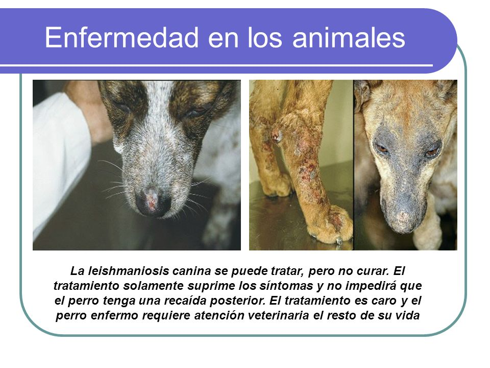 Enfermedad en los animales La leishmaniosis canina se puede tratar, pero no curar. El tratamiento solamente suprime los síntomas y no impedirá que el