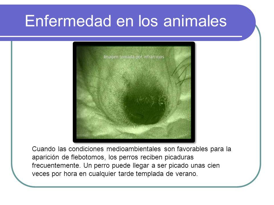 Enfermedad en los animales Cuando las condiciones medioambientales son favorables para la aparición de flebotomos, los perros reciben picaduras frecue