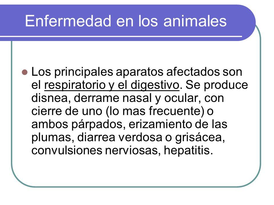 Enfermedad en los animales Los principales aparatos afectados son el respiratorio y el digestivo. Se produce disnea, derrame nasal y ocular, con cierr