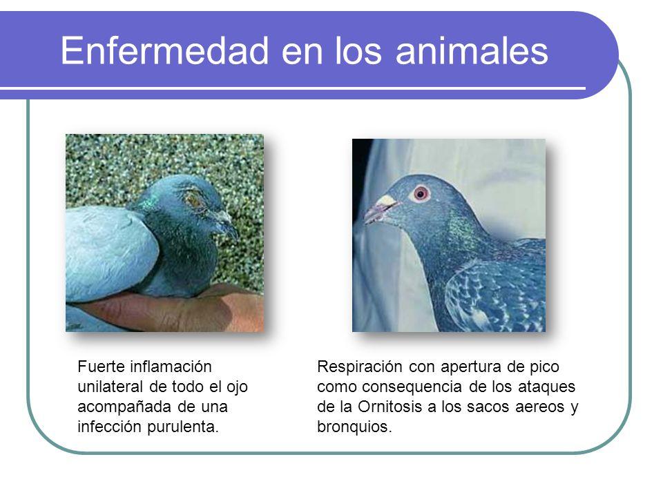 Enfermedad en los animales Fuerte inflamación unilateral de todo el ojo acompañada de una infección purulenta. Respiración con apertura de pico como c